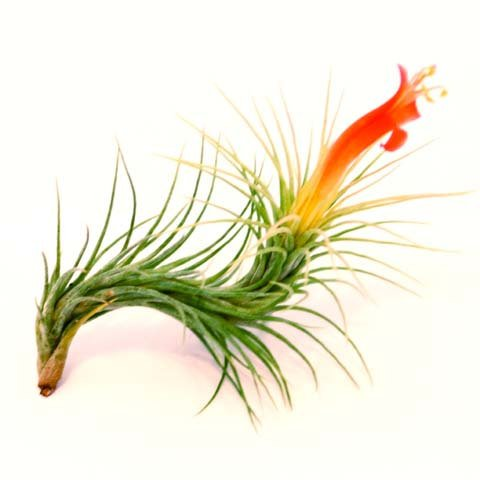 Funckiana Singles - Beautiful Air Plant