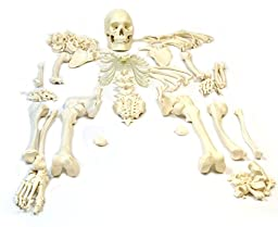 Disarticulated Human Skeleton, Full, Medical Quality, Life Sized (62\