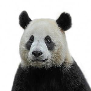 "Amazon.com: PANDA BEAR CUTE ON WHITE BACKGROUND 24""X24"" SQUARE CANVAS"