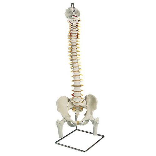 Flexible Spine With Femur Heads And Stand