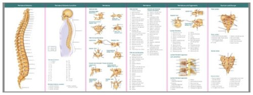 Anatomical Chart Company's Illustrated Pocket Anatomy: The Vertebral Column & Spine Disorders Study Guide (Nerve Function Chart compare prices)