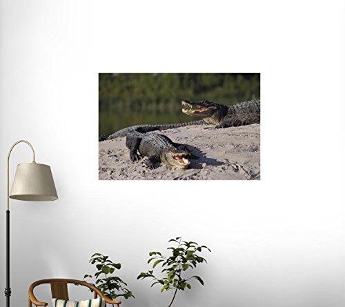 American Alligators (Alligator Mississippiensis) In Breeding Pond At Hunt'S All Igator Breeding Ranch Wall Mural - 24 Inches W X 16 Inches H - Peel And Stick Removable Graphic