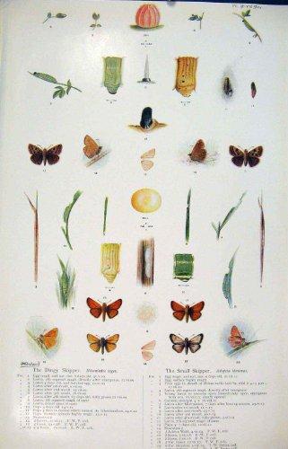 impresion-antigua-del-pequeno-ciclo-del-gusano-de-la-larva-del-color-de-la-mariposa-del-capitan-sord