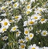 Just-Seed-British-Wild-Flower-Oxeye-Daisy-Ox-eye-Leucanthemum-vulgare-2g-6000-Seed