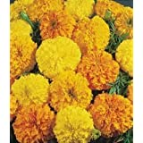 AFRICAN MARIGOLD ORANGE FLOWER SEEDS BY KRAFT SEEDS [PACK OF 2]