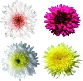 Pom Poms Assorted Disbud 50 Flowers