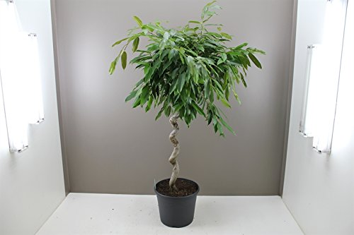 ficus-amstel-king-rare-shaped-spiral-stem-easy-care-alternative-to-weeping-fig-tree-air-purifying-pl