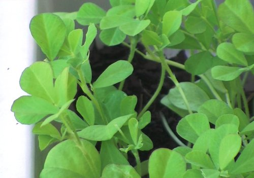 Seeds Marathi Methi
