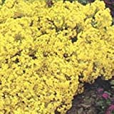 Flower - Kings Seeds - Pictorial Packet - Alyssum Saxatile Compactum
