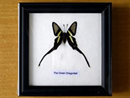 BIGSALES The Green Dragontail Beautiful Butterfly Framed Taxidermy Wood Frame for Child Collection