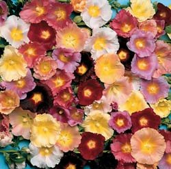 Hollyhock Happy Lights Mix - Park Seed Hollyhock Seeds - Buy Hollyhock Happy Lights Mix - Park Seed Hollyhock Seeds - Purchase Hollyhock Happy Lights Mix - Park Seed Hollyhock Seeds (Park Seed, Home & Garden,Categories,Patio Lawn & Garden,Plants & Planting,Outdoor Plants,by Moisture Needs,Moderate Watering)