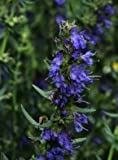 HYSSOP - HERB - 10,000 FINEST SEEDS - BULK