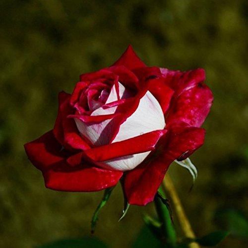 Idealhere Osiriaローズ種 /バラ種子 20粒 花新品種珍しい カラフル DIYガーデニング