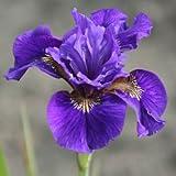 Iris sibirica Ruffled Velvet Siberian Iris 3Litre Pot