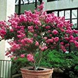 Hopi Pink Crape Myrtle (1-2 ft tall in trade gallon containers) Semi Dwarf