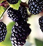 Natchez Thornless Blackberry Fruit Bush Seed Pack