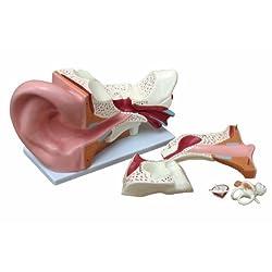 耳解剖模型GX-303C みみの模型 高さ25cm パーツ取り外し可能 人体模型 JK-3267A