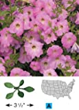 Flower Petunia Laura Bush Pink 5000 Open Pollinated Seeds by David's Garden Seeds