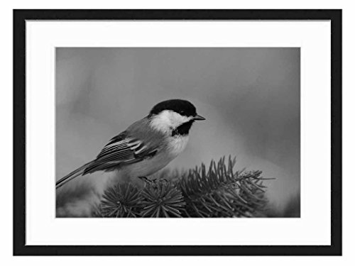 Black Cap Chickadee - Art Print Wall Solid Wood Framed Picture (Black & White 20x14 inches) (Black Cap Chickadee compare prices)