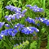 Statice - Blue River - 100 Seeds