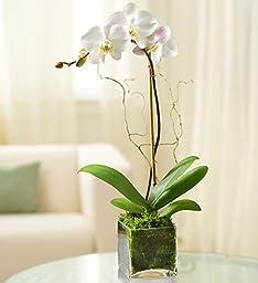 1-800-Flowers - 1 Stem White Phalaenopsis Orchid for Sympathy