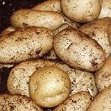 Autumn Planting Seed Potatoes - Pentland Javelin. (9 Tubers)