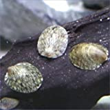 フネアマ貝 5匹セット