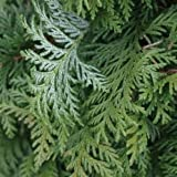 Chamaecyparis Soft Serve™ (False Cypress) - 1 Gallon Pot