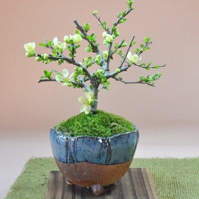父の日に贈る盆栽 長寿梅 白花 信楽鉢 説明書&肥料付き