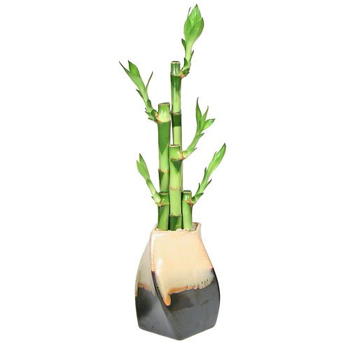 Lucky Bamboo Plant Arrangment, 5 Stalks, Curve Twisted Ceramic &#8211; Two-Tone Cream on Coffee, Bring Good Fortune and Luck &#8211; Exclusive Design by Eve&#8217;s Garden