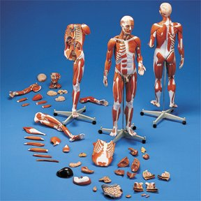 3B Scientific Muscular Anatomy Model; 45-Part; Master Series; 3/4 Times Life-Size (Human Anatomy Model compare prices)