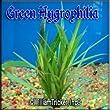 Green Hygrophila Live Aquarium Plant 3 bunches