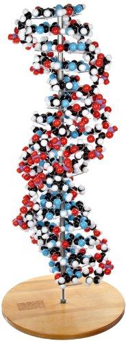 Molecular Models 14-DNA2700C 17 Base Pair DNA Model Kit, Completely Assembled (Dna Model compare prices)