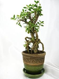 "9GreenBox - Snow Rose Serissa Bonsai with 3.5"" Ceramic Pot"
