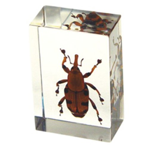 """Bamboo Weevil Paperweight (1.8x1.1x0.8"""")"""