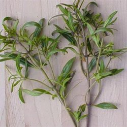 Summer Savory - Park Seed Herb Seeds - Buy Summer Savory - Park Seed Herb Seeds - Purchase Summer Savory - Park Seed Herb Seeds (Park Seed, Home & Garden,Categories,Patio Lawn & Garden,Plants & Planting,Outdoor Plants,by Moisture Needs,Regular Watering)