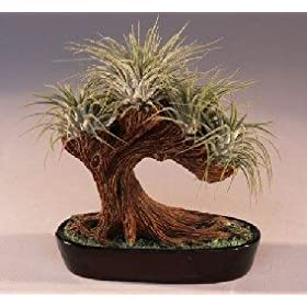 Bonsai Boy's Bonsai Tree Air Plant (epiphytic)<br>