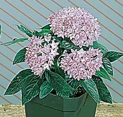 Buy Pentas New Look Violet – Park Seed Pentas Seeds
