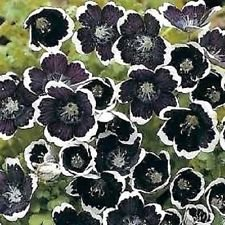 50 Penny Black Nemophila / Flower Seeds / Annual