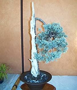 Arizona Cypress 15 Seeds - Cupressus - Bonsai