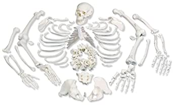 "3B Scientific A05/1 Disarticulated Full Human Skeleton with 3 Part Skull, 19.1"" x 10.6"" x 16.7"""