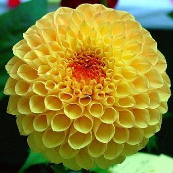 Buy Katja Giant Ball Dahlia Bulb, 1 tuber-Lemony Yellow!