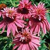 3 x Echinacea purpurea Doubledecker in a 9cm Pot - Hardy Perennial Plant - Flowering Plants Shrubs