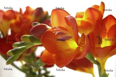 "Wallmonkeys Peel and Stick Wall Decals - Freesia Fire - 36""W x 24""H Removable Graphic"