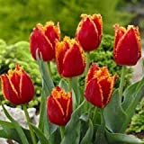 10 Quality Tulip Bulbs - Fabio (Red & Yellow) - Freshly Imported from Holland (Color: Red & Yellow)