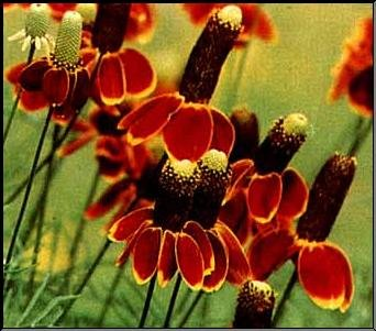 1,000 Mexican Hat Seeds By Seed Needs