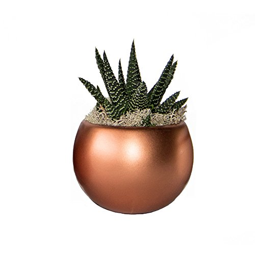 LiveTrends Life Magnetic - Living Succulent Decoration (Solid Copper) (Air Plant In Pot compare prices)