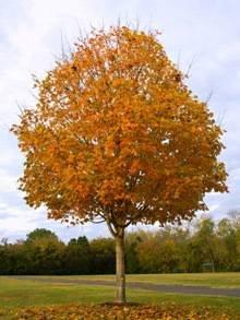 5-6 ft. - Sugar Maple