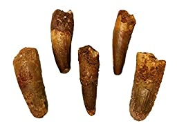 5 Genuine Spinosaurus Teeth with Certificate of Authenticity - DINOSAUR TOOTH!