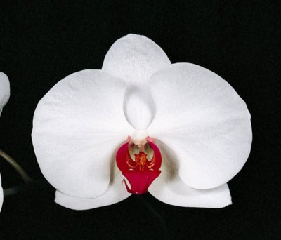 Dtps Martha Dolge 'Mendenhall' (Phalaenopsis Orchid)